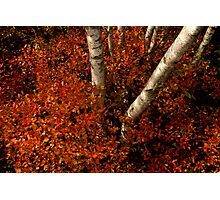 Birches and Red Bushes, OCT 25, 2013 Photographic Print