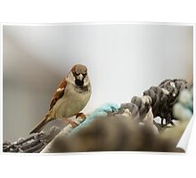 Male House Sparrow on Lobster Pot Poster