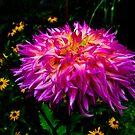 Purple Flames and Black Eyes - flower purple black eyed susan by Michael Taggart