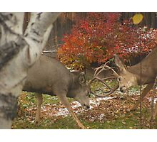 Bill and Ted locking horns in my backyard Photographic Print