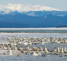 Migratory waterfowl gathers at Swan Haven, Marsh Lake, Yukon by ImagoBorealis