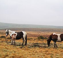 Bodmin Moor Ponies by Lord William Chard