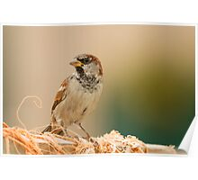 House Sparrow on Lobster Pot Poster