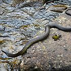 Tasmanian Tiger Snake ( Notechis scutatus) by Nick Delany