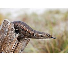 Blotched Blue-tongued Skink ( Tiliqua nigrolutea) Photographic Print