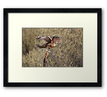 Brown Falcon Taking off! Framed Print