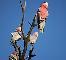 Galahs In the Afternoon Sun by Nick Delany