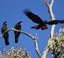 Red-tailed Black Cockatoos by Nick Delany