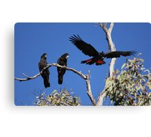 Red-tailed Black Cockatoos Canvas Print