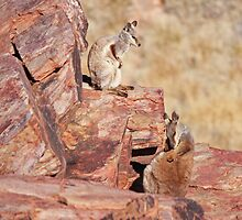 Black-footed Rock Wallabies by Nick Delany