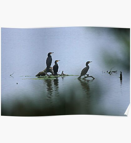 Great Cormorants  Poster