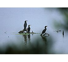 Great Cormorants  Photographic Print