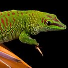 Madagascan day gecko perched by Angi Wallace