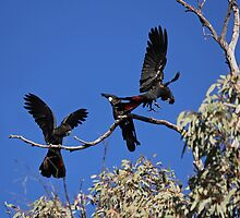 Red-Tailed Black Cockatoos Dancing by Nick Delany
