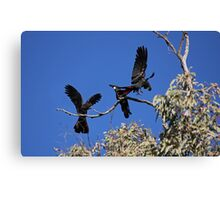 Red-Tailed Black Cockatoos Dancing Canvas Print