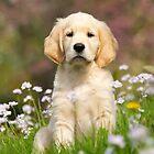 Goldie Puppy by Katho Menden