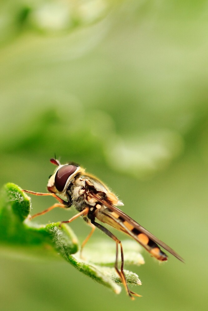 Hoverfly by Emjay01