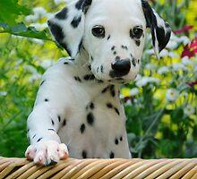 Hey, I`m a Dalmatian puppy by Katho Menden