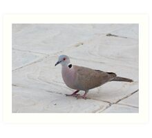 African Mourning Dove Art Print