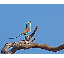 Abyssinian Roller Photographic Print