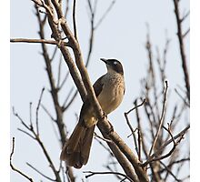 Black-cap Babbler Photographic Print