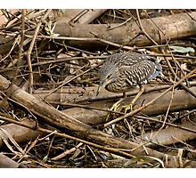 Black-crowned Night Heron, Juvenile Photographic Print