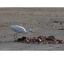 Cattle Egret on Tanji Beach Photographic Print