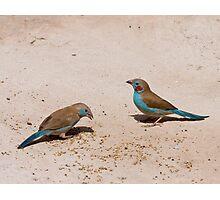 Red-cheeked Cordon-Bleu pair Photographic Print