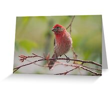 House Finch Male Greeting Card