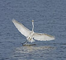 Great White Egret in The Gambia by Sue Robinson