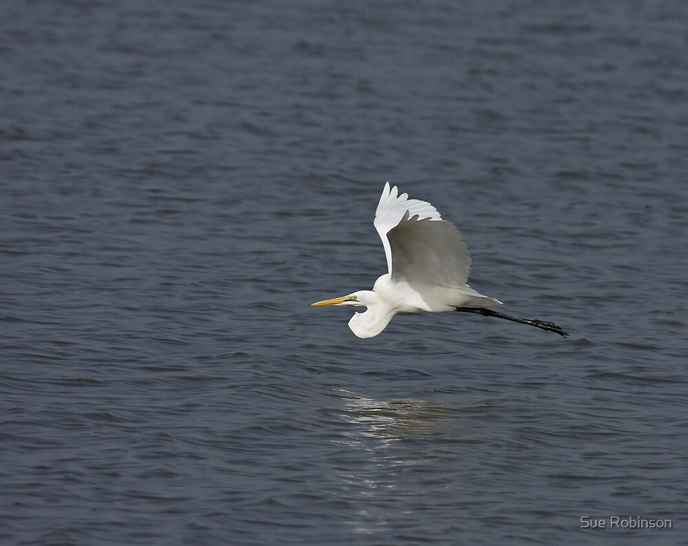 Great White Egret flying low by Sue Robinson