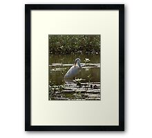 Great White Egret in Lily Pond Framed Print