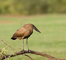 Hammerkop near Simenti by Sue Robinson