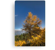Walking along the Zirbenweg - Swiss Stone Pine Canvas Print