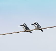 Pied Kingfishers in The Gambia by Sue Robinson