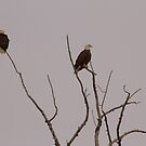 Pair of Eagles by Kathi Arnell