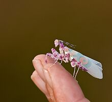 Praying Mantis on finger by Sue Robinson