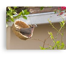 Red-eyed Dove in basket Canvas Print