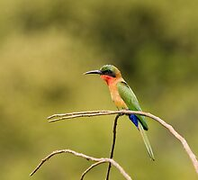 Red-throated Bee-eater with green background by Sue Robinson