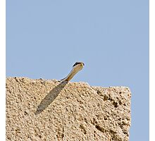 Sand Snake on Wall  in The Gambia Photographic Print