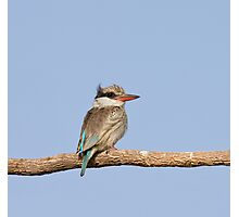 Striped Kingfisher in The Gambia Photographic Print