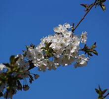 White Spring Blossoms by cherylorraine