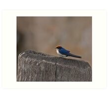 Wire-tailed Swallow Art Print