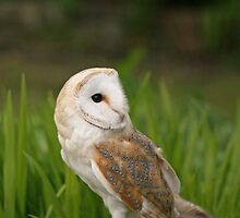 Barn Owl close-up by Sue Robinson