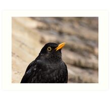 Common Blackbird Close-up Art Print