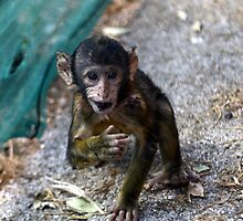 Baby Monkey on Gibraltar by Mercedeshall