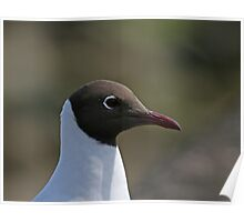 Black-headed Gull close-up Poster