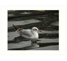 Black-headed Gull reflection Art Print