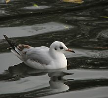 Black-headed Gull reflection by Sue Robinson