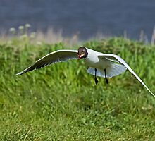 Black-headed Gull scavenging by Sue Robinson